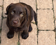 Puppy Posters - Chocolate Lab Puppy Looking Up Poster by Jody Trappe Photography