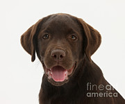 Chocolate Lab Photos - Chocolate Lab Puppy by Mark Taylor