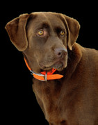 Retriever Posters - Chocolate Lab Poster by William Jobes