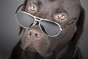 Attitude Photos - Chocolate Labrador (canis Lupus Familiaris) Portrait With Sunglasses by Justin Paget
