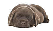 Sleeping Dog Posters - Chocolate Labrador (canis Lupus Familiaris) Puppy Poster by Justin Paget