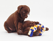 Toy Dog Framed Prints - Chocolate Labrador Retriever Puppies Framed Print by Jane Burton