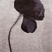 Hairy Stem Prints - Chocolate Poppy Print by Bonnie Bruno