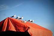 Tent Acrylic Prints - Choir Of Seagulls Acrylic Print by Photography by Alan Leong. ShearNation.com