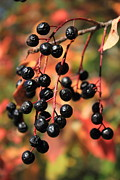 Black Berries Posters - Chokecherry Poster by Jim Sauchyn