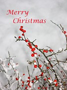 Christmas Card Photo Originals - Christmas Berries by John Chatterley