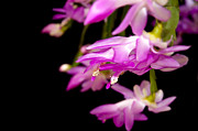 Christmas Cactus Art - Christmas Cactus by Carolyn Marshall