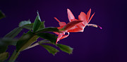 Christmas Cactus Art - Christmas Cactus by Christine Sharp
