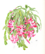 Epiphyte Painting Prints - Christmas Cactus Print by Penrith Goff
