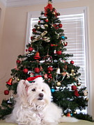 White Maltese Prints - Christmas Card Dog Print by Vijay Sharon Govender