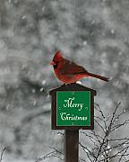 George Jones Posters - Christmas Cardinal Male Poster by George Jones
