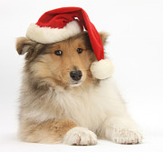 Dog Clothes Posters - Christmas Collie Pup Poster by Mark Taylor
