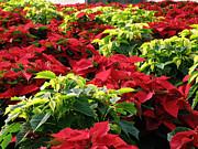 Christmas Color Print by FeVa  Fotos