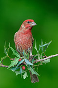 Jeff Wendorff - Christmas Finch