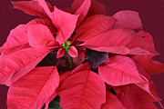 Green Burgandy Prints - Christmas Flower Print by Linda Phelps