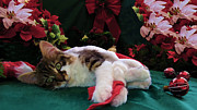 Kitteh Prints - Christmas Joy w Kitty Cat - Kitten w Large Eyes Daydreaming about Xmas Gifts - Framed w Poinsettias Print by Chantal PhotoPix