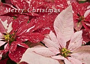 Christmas Greeting Framed Prints - Christmas Poinsettias Framed Print by Michael Peychich