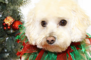 Maltese Photos - Christmas Portraits - Maltipoo by Renae Frankz