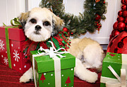 Maltese Photos - Christmas Portraits - ShihTese by Renae Frankz