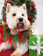 West Highland Terriers Posters - Christmas Portraits - West Highland Terrier Poster by Renae Frankz