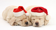 Sleeping Dog Posters - Christmas Puppies Poster by Mark Taylor