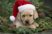 Friendly Puppy Posters - Christmas Puppy Poster by Ron Dahlquist - Printscapes