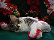 Kitteh Prints - Christmas Scene w Kitten - Sleepy Kitty Cat w Paws Stretched Out Waiting for Santa Claus on Xmas Eve Print by Chantal PhotoPix