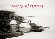 Christmas Cards Framed Prints - Christmas Swans 2367 Framed Print by Michael Peychich