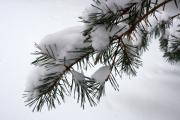 Anne Babineau Metal Prints - Christmas tree in snow Metal Print by Anne Babineau