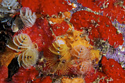 Christmas Tree Worms, Bonaire Print by Terry Moore
