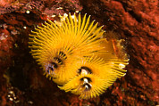 Kosrae Island Prints - Christmas Tree Worms On The Ocean Floor Print by Tim Laman