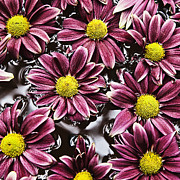 Floating In Water Prints - Chrysanthemum 1 Print by Skip Nall