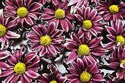 Floating In Water Prints - Chrysanthemum 2 Print by Skip Nall