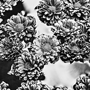 Floating In Water Prints - Chrysanthemum 4 Print by Skip Nall