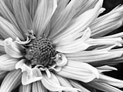 Carolyn Pettijohn - chrysanthemum