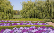 Purple Willow Posters - Chrysanthemum Display Poster by Elvira Butler