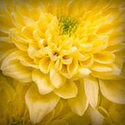 Summer Colours Prints - Chrysanthemum Flower Print by Ian Barber