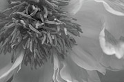 Photo Art Metal Prints - Chrysanthemum Macro Black and White Metal Print by Jose Valeriano