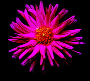 Floral Photographs Prints - Chrysanthemum Print by Tam Graff
