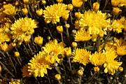 Chrysanthemums Print by Merv Scoble
