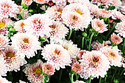 Pink Chrysanthemums Framed Prints - Chrysanthemums Framed Print by Stephanie Frey