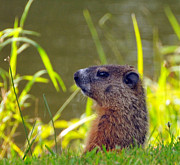 Groundhog Photos - Chucky Woodchuck by Paul Ward