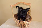 Cross Breed Photos - Chug in a basket by Linda Larson