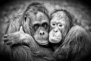 Orang Utans Framed Prints - Chums in Mono Framed Print by Celine Pollard