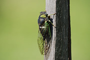 Cicada Prints - Cicada Green Print by Randy Bodkins