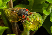 Cicada Photos - Cicada II by Gene Hilton
