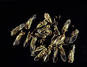 Cicada Prints - Cicada Insects Print by Volker Steger