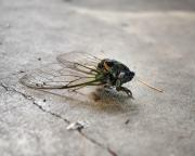 Cicada Photos - Cicada by Jai Johnson