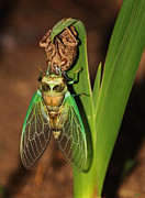 Cicada Photos - Cicada by Jeff Breiman