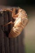 Cicada Photos - Cicada Shell by Mandy Shupp
